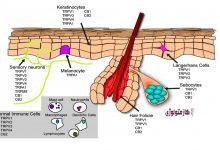 Photo of نگاهی گذرا به نقش رسپتور TRPV1 در پوست و کازمتولوژی 