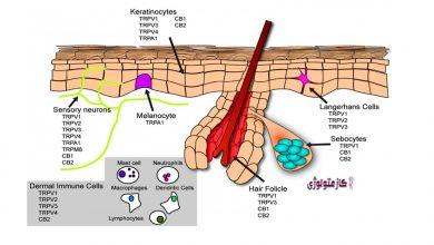 Photo of نگاهی گذرا به نقش رسپتور TRPV1 در پوست های حساس و کازمتولوژی 