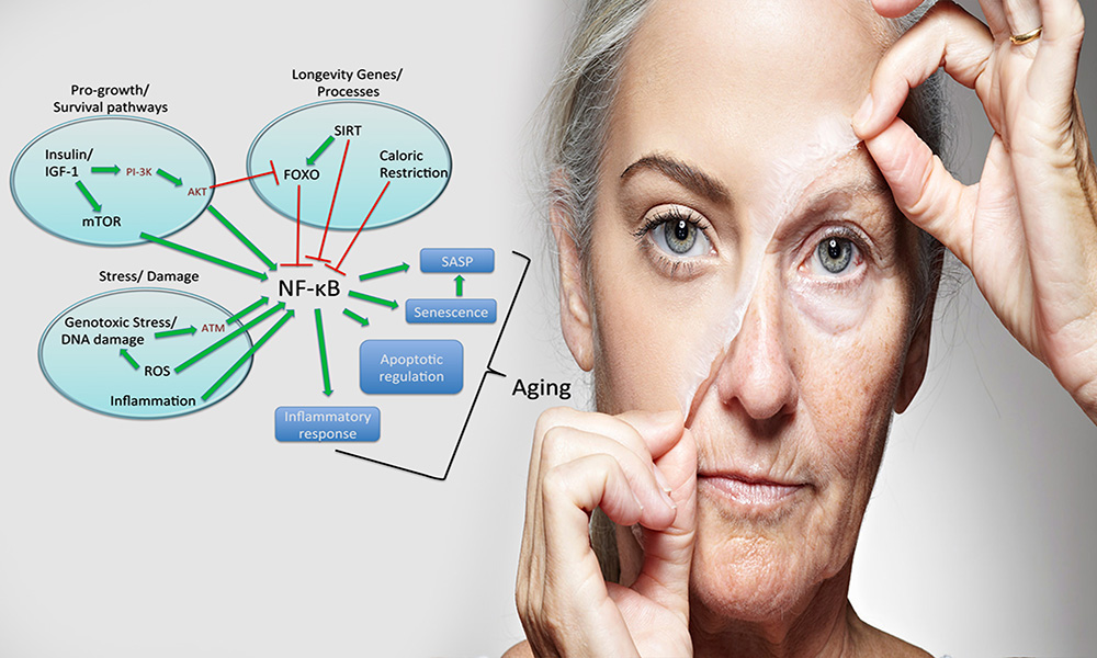 پیر پوستی, التهاب مزمن, پیری التهابی, روند پیری, فاکتور ان اف کاپا بی, پروستاگلاندین ها, فسفریلاسیون, پروتئازوم, ماتریکس متالوپروتئیناز, صنعت درموکازمتیک .